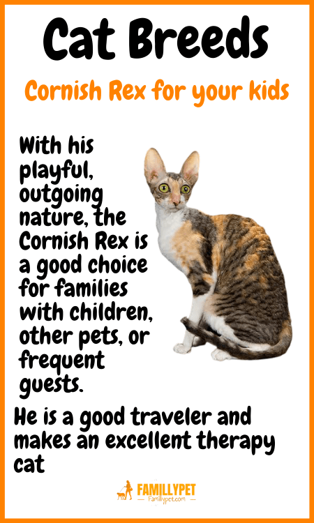 Cornish Rex famillypet