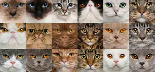 chooing the right cat breed for you