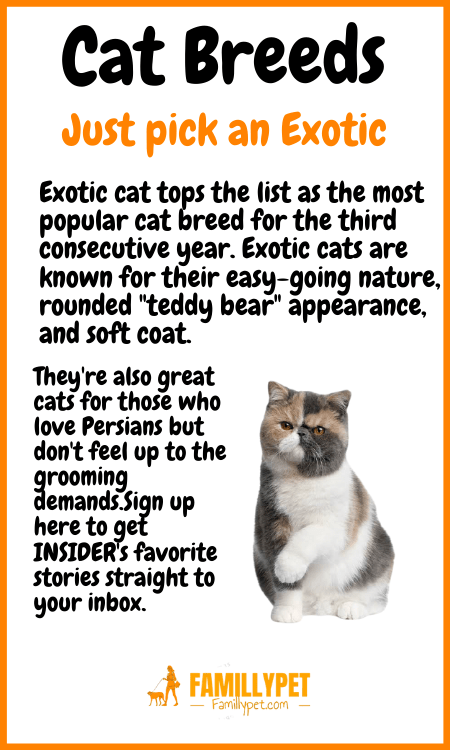 exotic cat famillypet