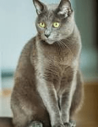 why picking a russian blue cat