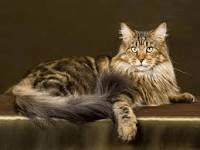 why adopting maine coon cat