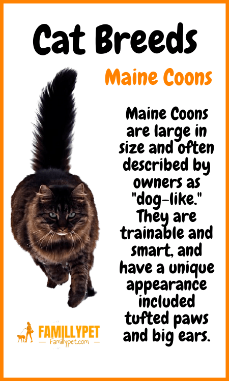 maine coon cat famillypet