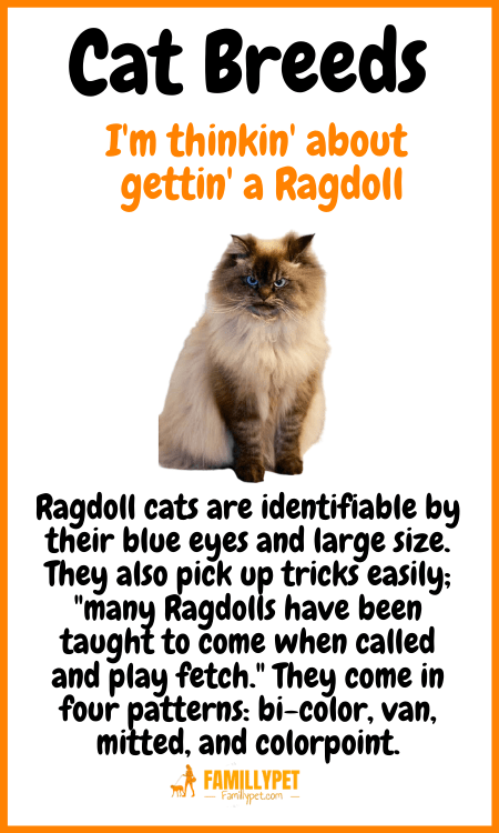 ragdoll cats famillypet