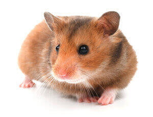 which hamster to get and adopt