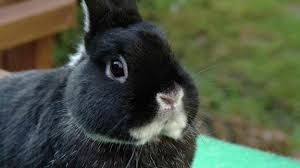 better pick a young or adult pet bunny