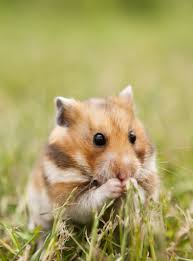 Kow the hamsters behavior before picking one
