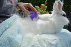 how to use the brush whith an angora rabbit