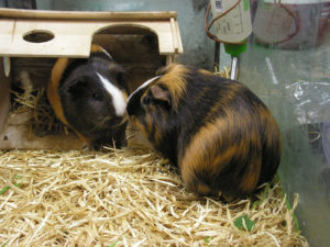 which litter is the best to a Guinea pig ?