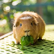 best way to feed a Guinea pig