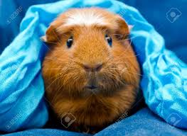 First days with my Guinea pig
