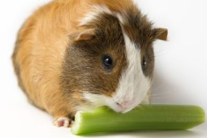 healthy food for a guinea pig