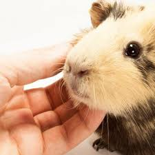 what to do with a Guinea Pig the first days ?