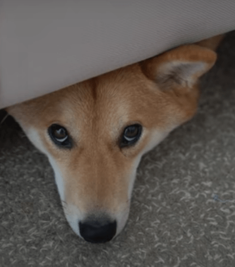 why dogs are hiding under fourniture