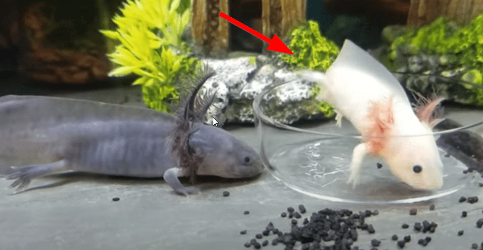 how to take care about an axolotl ?
