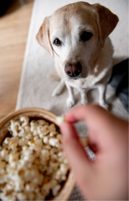 can dogs have cheese popcorn