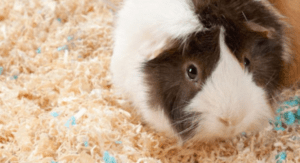 do guinea pigs smell ? and what to do to make smells better