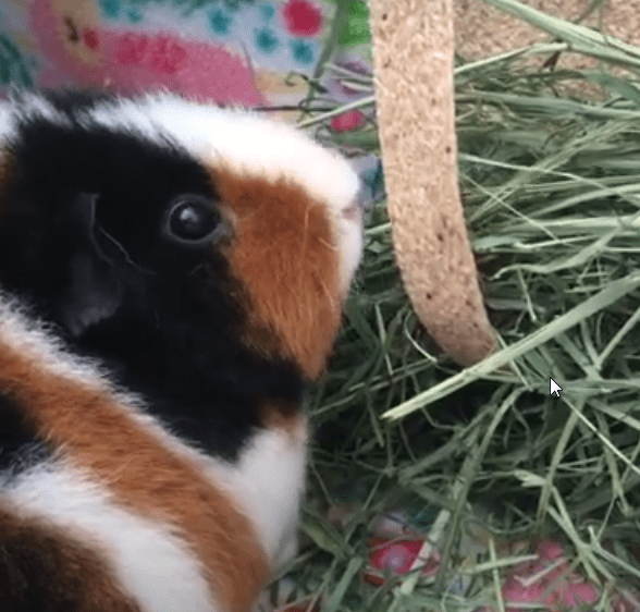 Guinea pigs eat a lot of hay