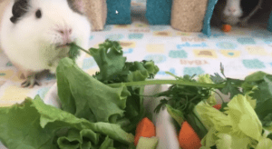 what do guinea pigs eat ?