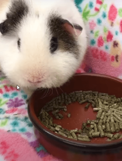 what kind of pellets are good for guinea pigs ?
