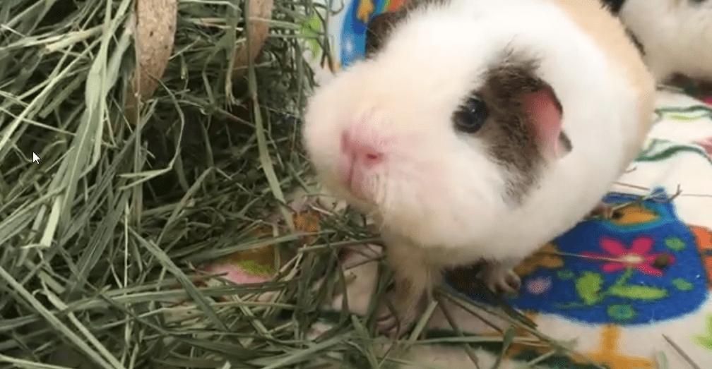 what to look for when buying a guinea pig