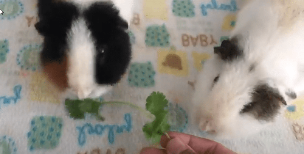 use food to make your guinea pigs love you