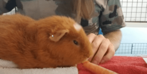 How to keep my guinea pig Healthy and Happy ?