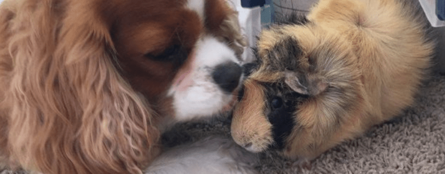 introduce guinea pig to dogs