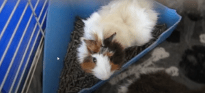 potty training a guinea pig