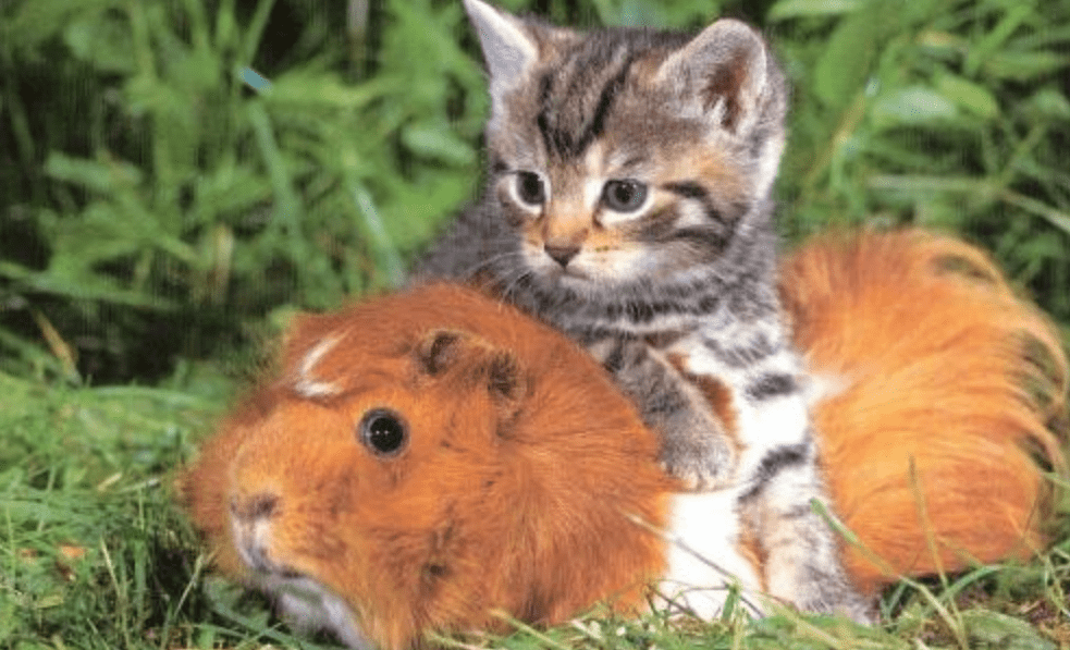 How to introduce a guinea pig to a cat ?