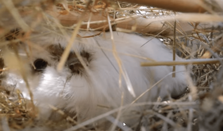 How to know if my guinea pig is cold ?