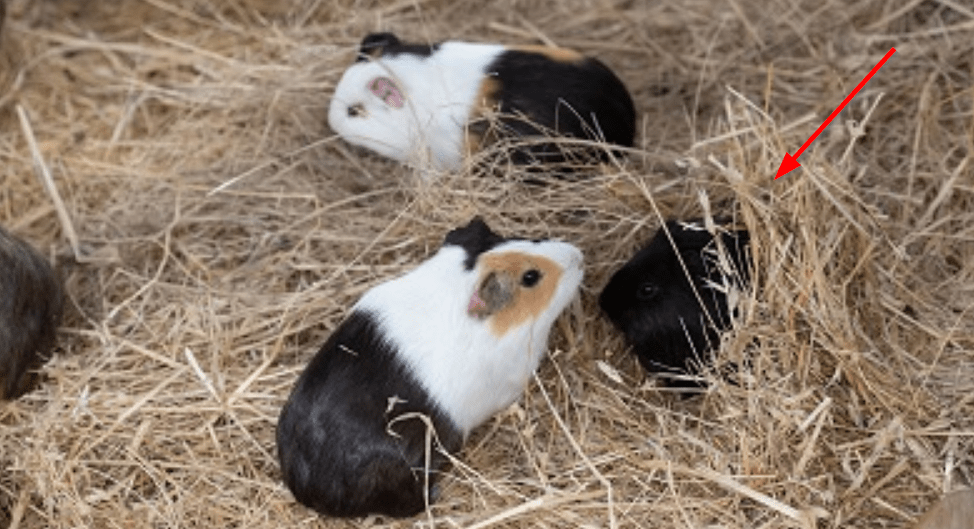 what to look for , first when buying a guinea pig ?