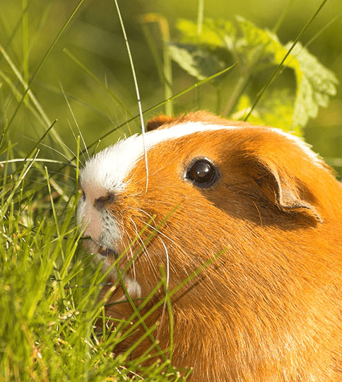 grass or dry hay for guinea pig