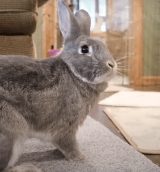 how to keep your rabbit clean and odorless ?