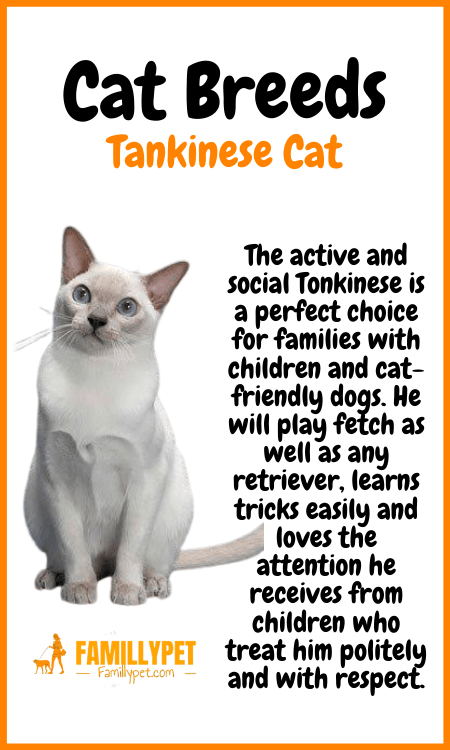 Tankinese cat famillypet