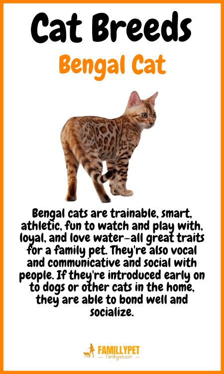 bengal cat famillypet