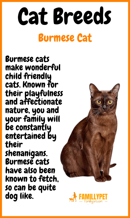 bermuse cat famillypet
