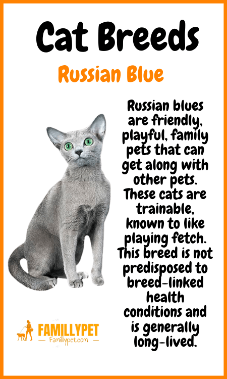 russian blue cat famillypet