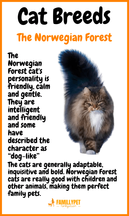 the Norwegian forest famillypet