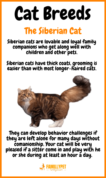 the Siberian cat famillypet