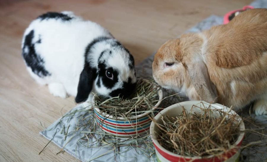The Easiest rabbit breed to care for