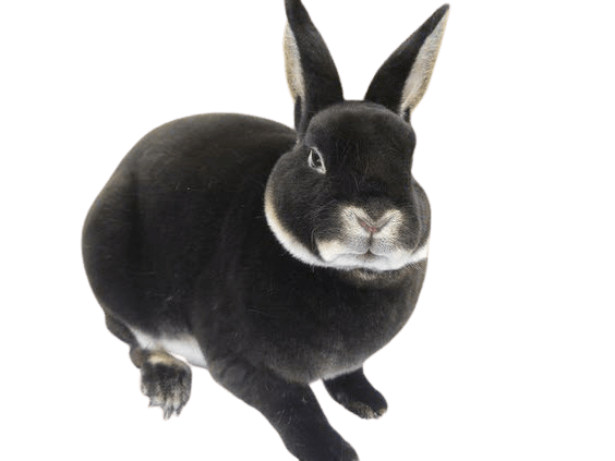 best rabbit breeds for first time owners
