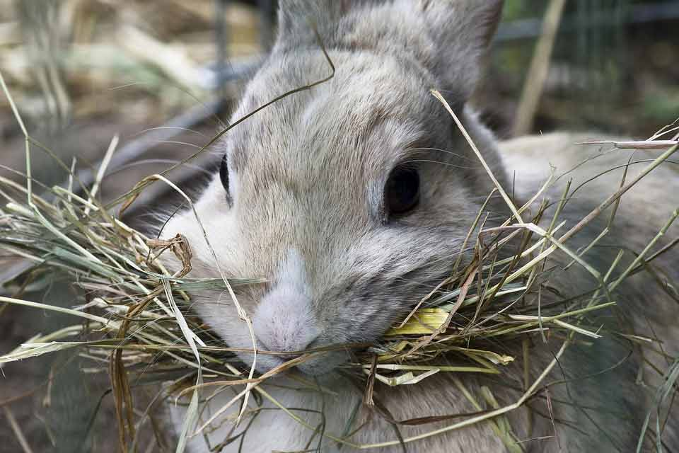 hay is a necessity for bunnies