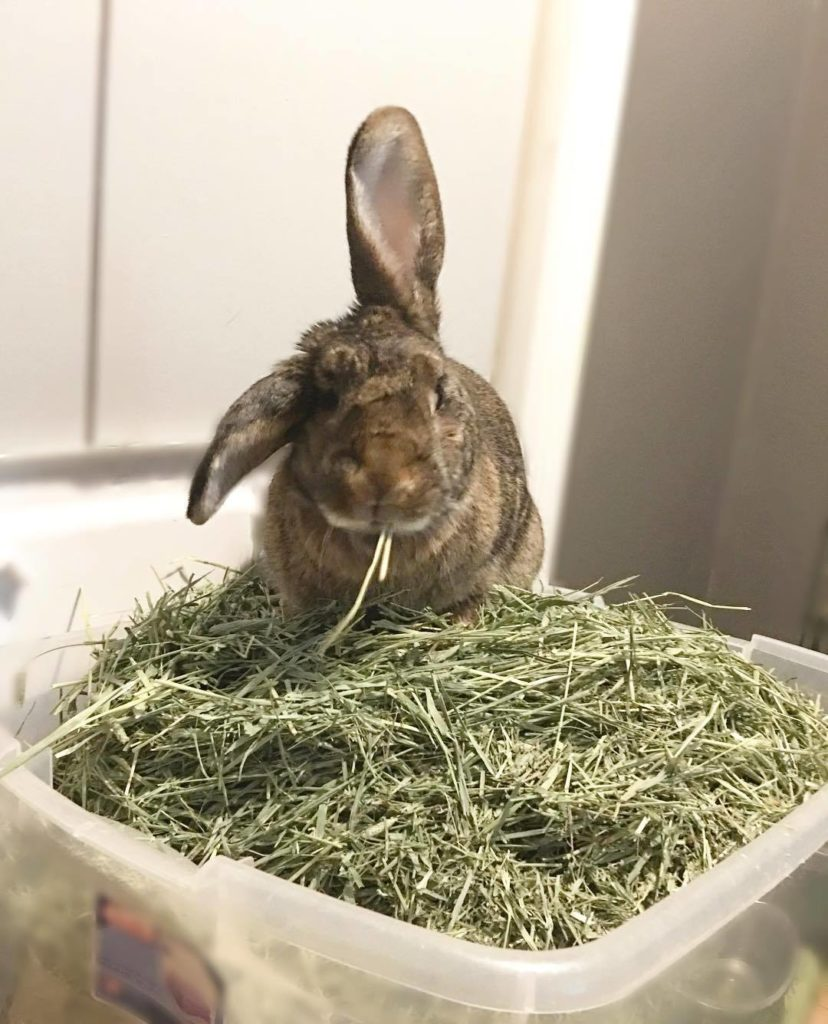 how to get my rabbit eat more hay