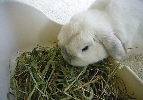 My rabbit doesn't eat its hay, what can I do?