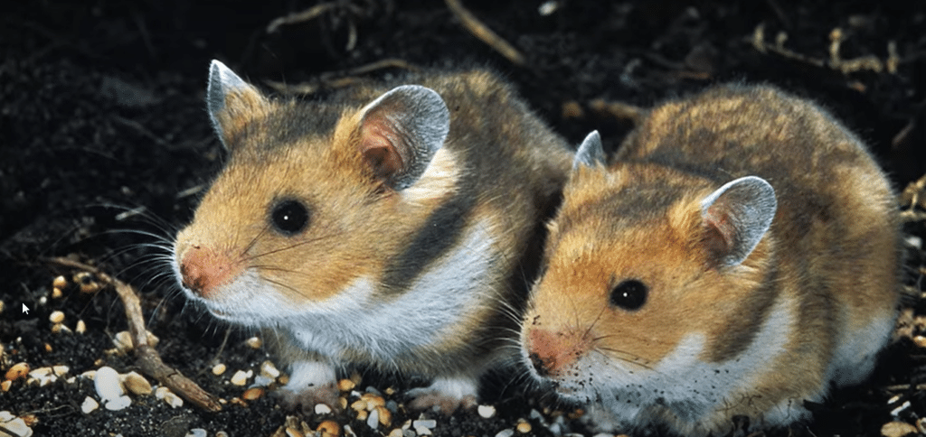 Do hamsters have a long lifespan ?