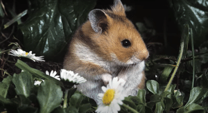 How Long Do Hamsters Live As Pets ?