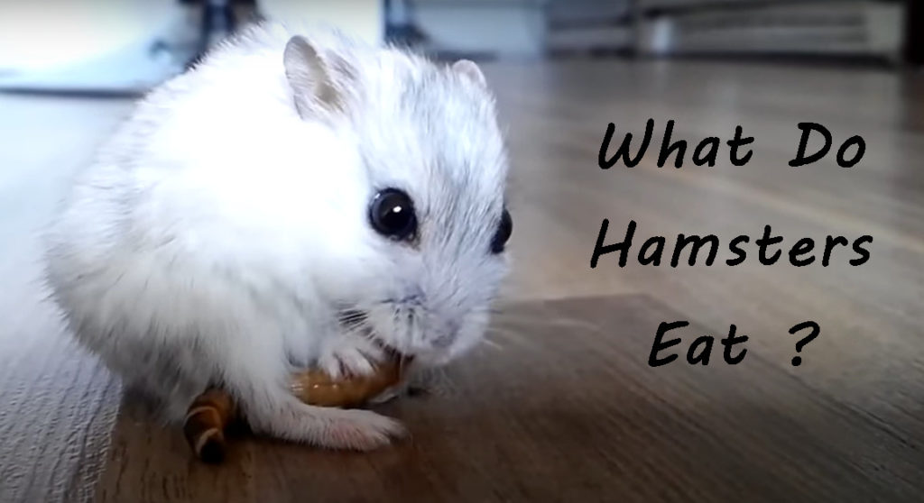 what hamsters eat