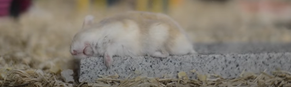 Are Hamsters Nocturnal , Diurnal or Crepuscular ?