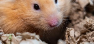 how to care for an old hamster