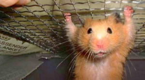 Will a hamster be okay if it falls from my hands ?